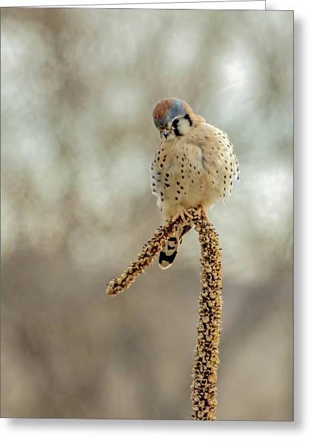 American Kestrel Male On Mullein Greeting Card