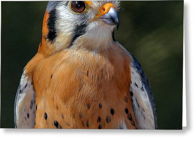 American Kestrel Portrait  Greeting Card