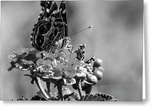 American Painted Lady Bw Greeting Card
