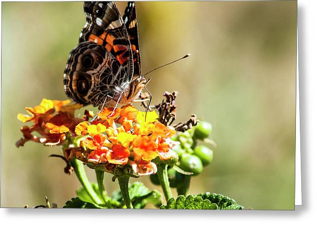 American Painted Lady Greeting Card