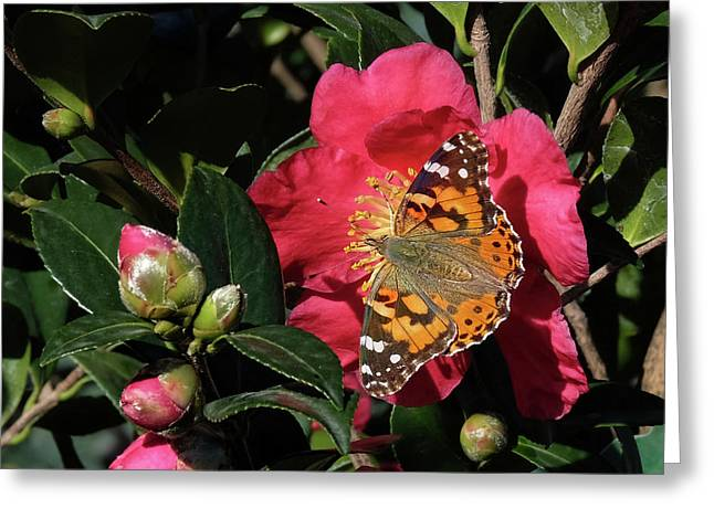 American Painted Lady On Camelia Greeting Card