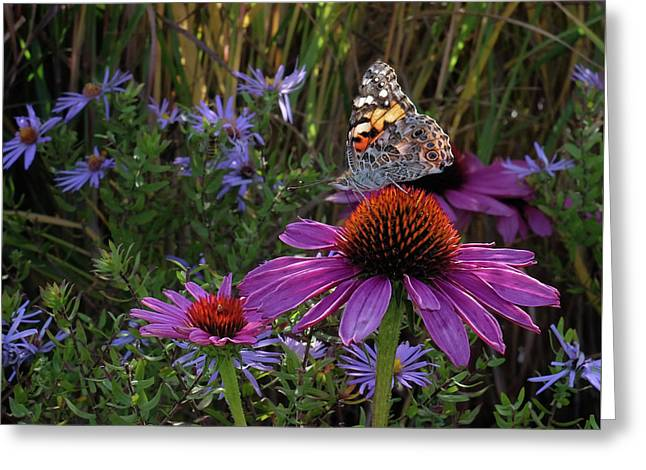 American Painted Lady On Cone Flower Greeting Card