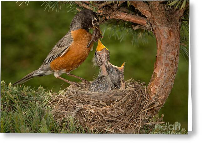 American Robin Feeding Chicks Greeting Card by Jerry Fornarotto