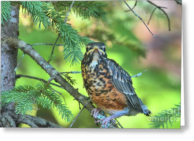 Greeting Card featuring the photograph American Robin Fledgling by Debbie Stahre