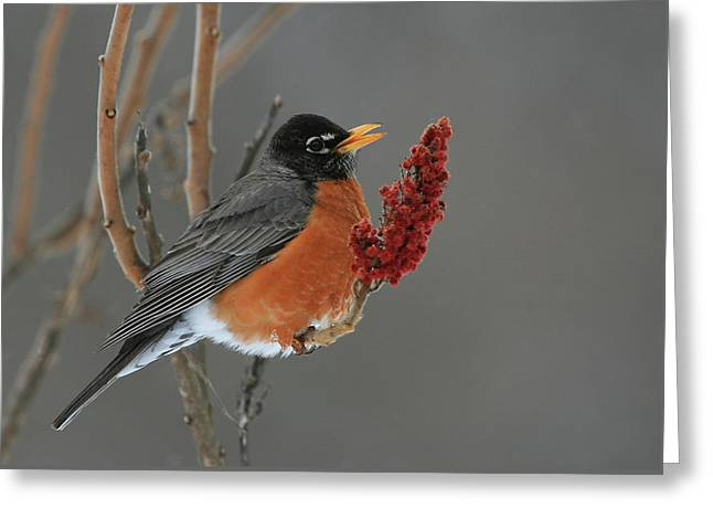 American Robin On Sumac Greeting Card