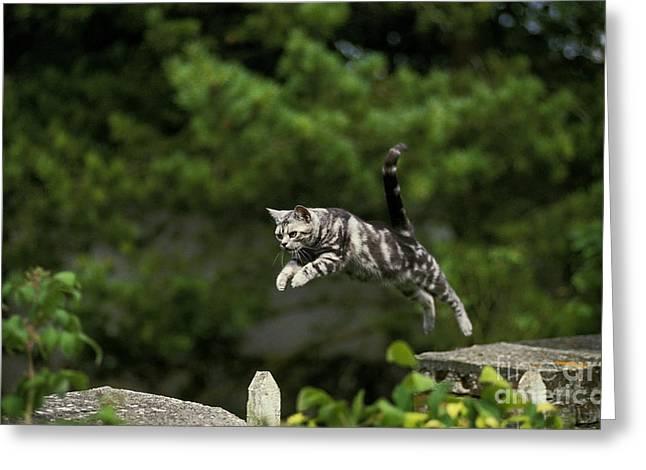 American Shorthair, Leaping Greeting Card
