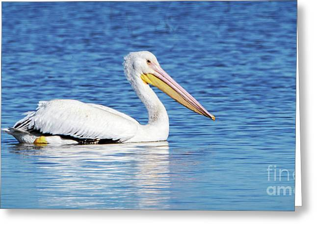 American White Pelican Greeting Card by Charles Dobbs