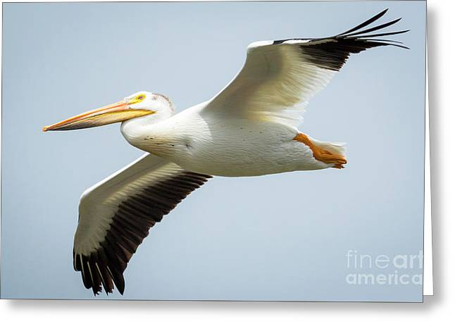 Greeting Card featuring the photograph  American White Pelican Flyby  by Ricky L Jones