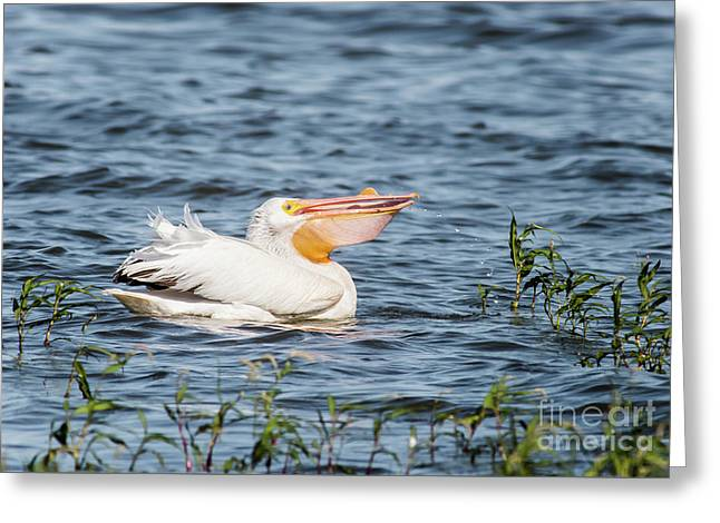 American White Pelican Male Greeting Card by Robert Frederick