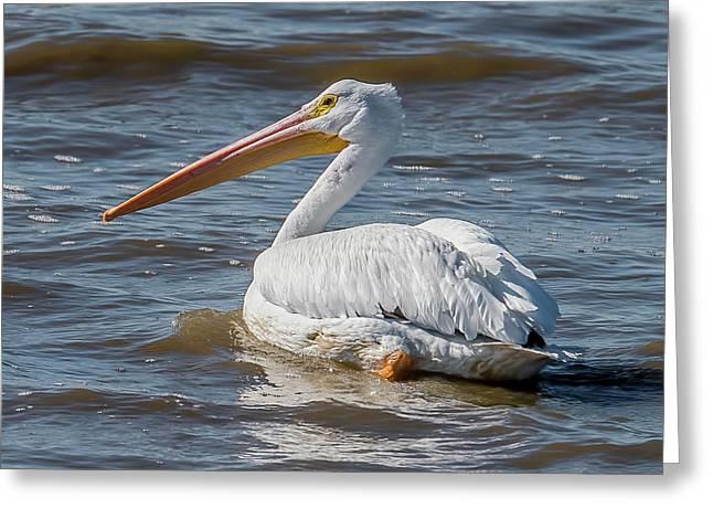 American White Pelican Greeting Card by Morris Finkelstein