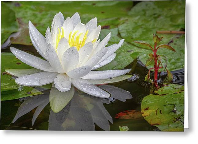 American White Water Lily Greeting Card