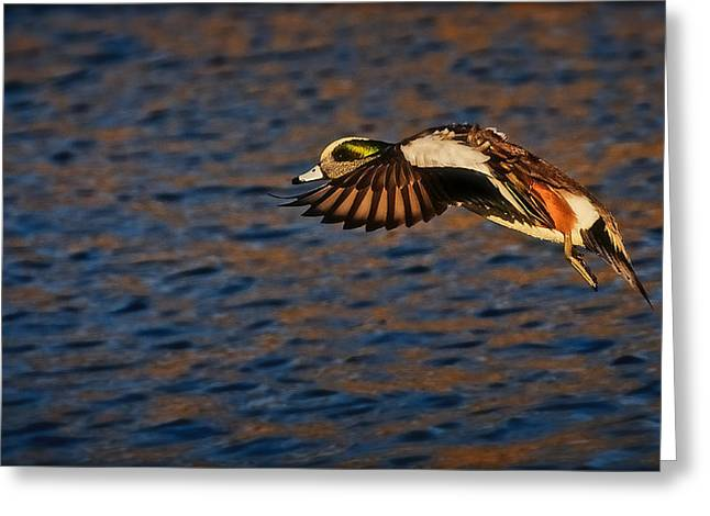 American Wigeon In Aerial Navigation Greeting Card