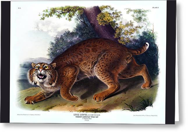 American Wild Cat Antique Print Audubon Quadrupeds Of North America Plate 1 Greeting Card by Orchard Arts