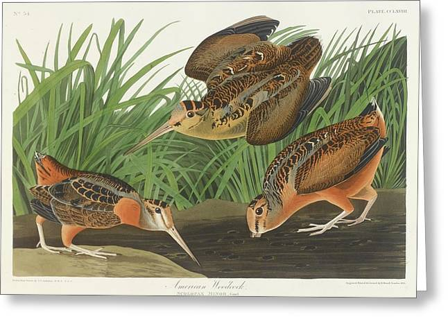 American Woodcock Greeting Card by John James