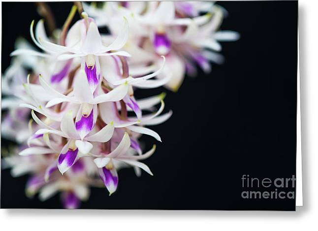 Amethyst Colored Dendrobium Greeting Card by Tim Gainey