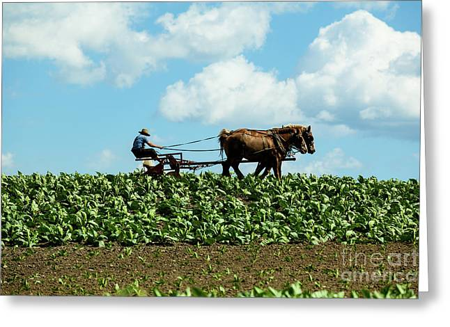 Amish Farmer With Horses In Tobacco Field Greeting Card