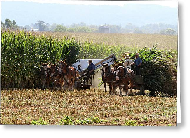 Amish Men Harvesting Corn Greeting Card