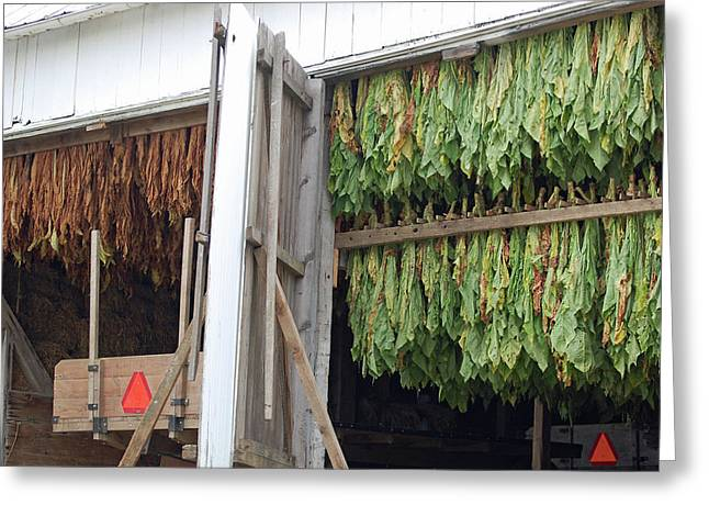 Amish Tobacco Harvest Greeting Card by Joyce Huhra