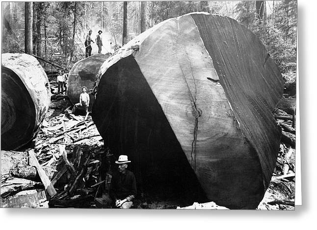Among The Felled Redwoods  C. 1890 Greeting Card by Daniel Hagerman