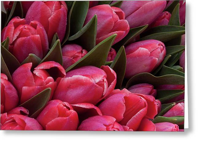 Amsterdam Red Tulips Greeting Card