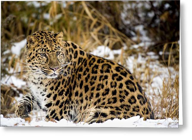 Amur Leopard In A Snowy Forrest Greeting Card