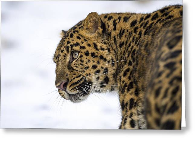 Amur Leopard In The Snow Greeting Card