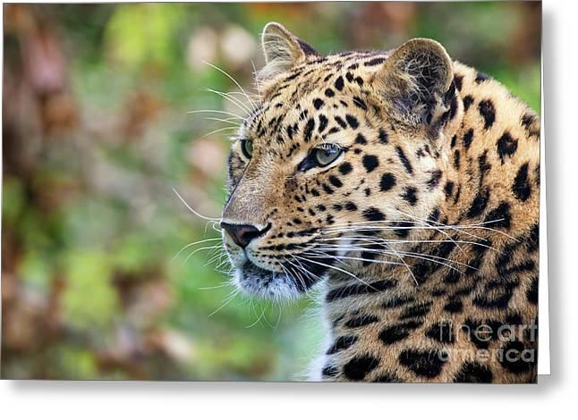 Amur Leopard Portrait Greeting Card by Jane Rix
