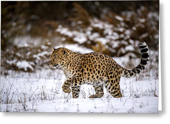 Amur Leopard Walks In A Snowy Forest Greeting Card