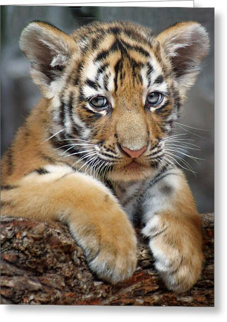 Amur Tiger - Cub Greeting Card
