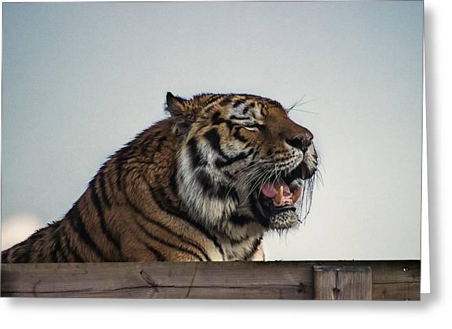 Amur Tiger Greeting Card by Martin Newman