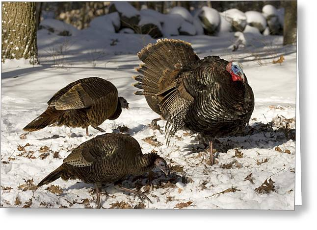 An Adult Male Wild Turkey Meleagris Greeting Card