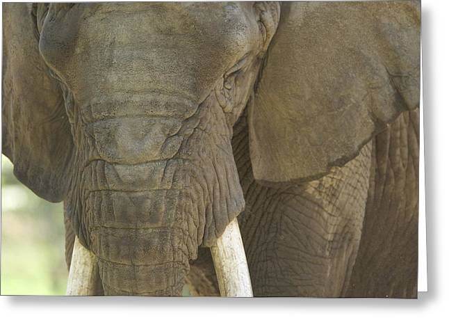 An African Elephant At The Henry Doorly Greeting Card by Joel Sartore
