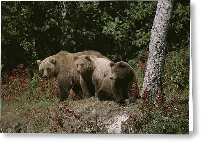 An Alaskan Brown Bear And Her Cubs Greeting Card