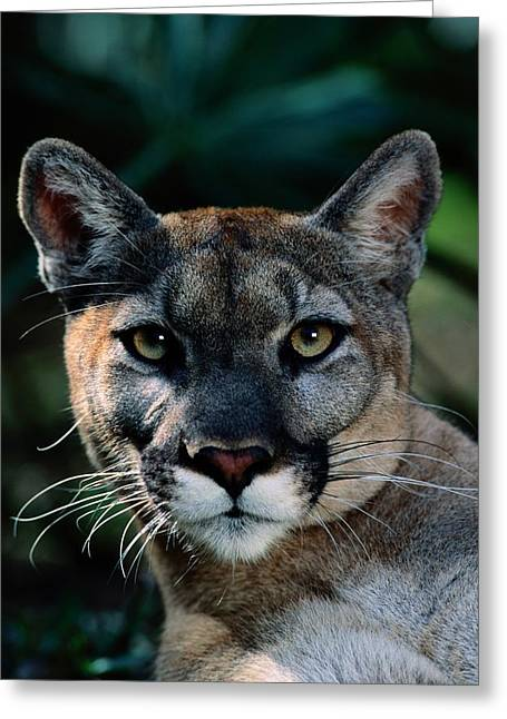 An Alleged Florida Panther. Owner Frank Greeting Card by Michael Nichols