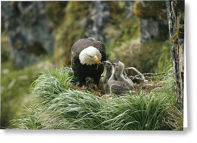 Juvenile Birds Greeting Cards - An American Bald Eagle Feeds Its Young Greeting Card by Klaus Nigge