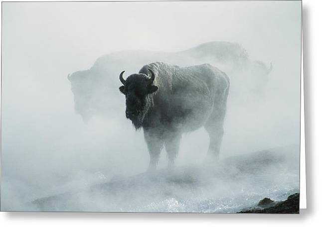 An American Bison Bull Bison Bison Greeting Card by Michael S. Quinton