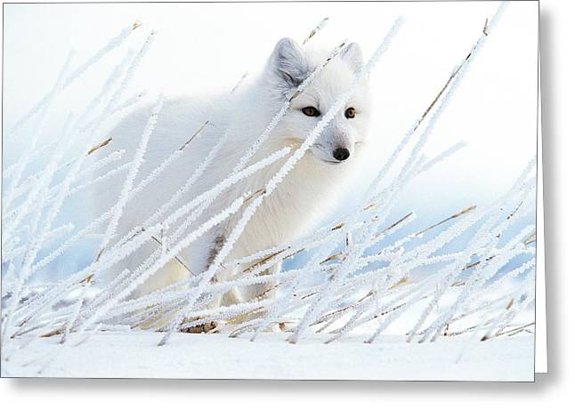 Northwest Territories Greeting Cards - An Arctic Fox Conceals Itself In Rye Greeting Card by Paul Nicklen