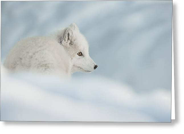An Arctic Fox In Snow. Greeting Card by Andy Astbury