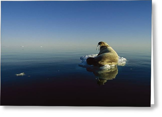An Atlantic Walrus Odobenus Rosmarus Greeting Card by Norbert Rosing