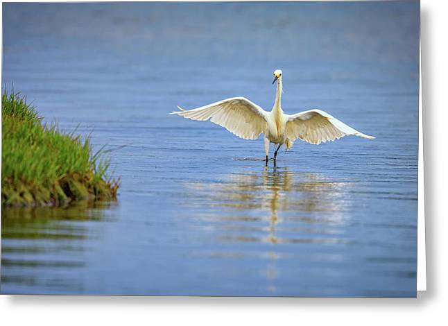 An Egret Spreads Its Wings Greeting Card by Rick Berk