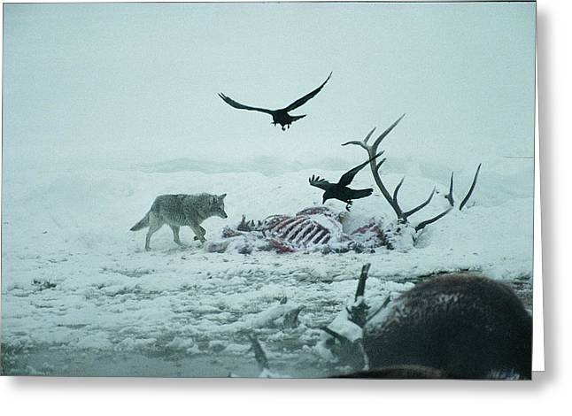 An Elk Carcass Becomes A Snowy Buffet Greeting Card by Michael S. Quinton