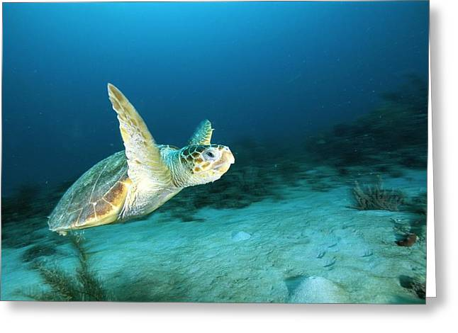 An Endangered Loggerhead Turtle Greeting Card by Brian J. Skerry