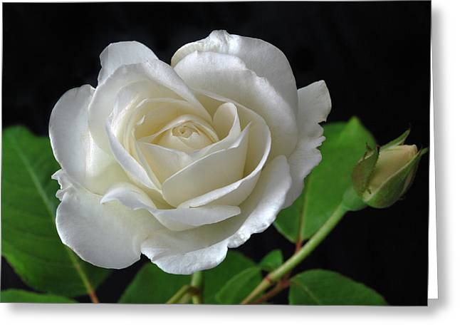 An English Rose Greeting Card