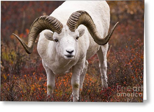 An Exceptional Ram Greeting Card by Tim Grams