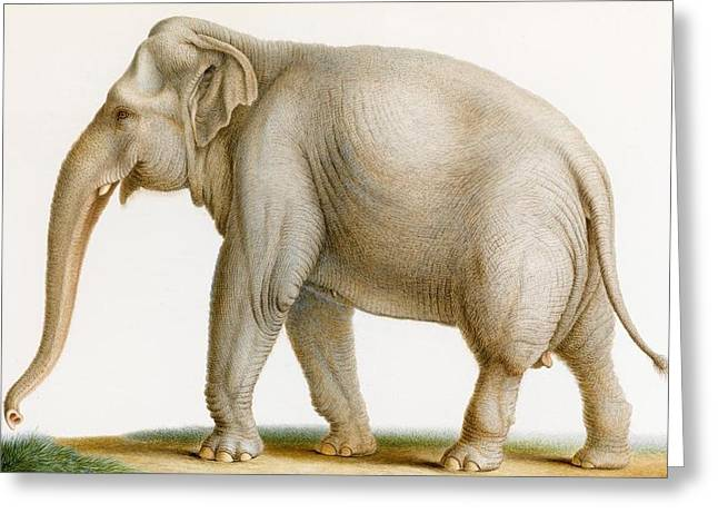 An Indian Elephant Greeting Card by MotionAge Designs