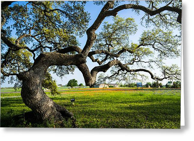An Oak Tree Of Independence - Texas Greeting Card by Ellie Teramoto