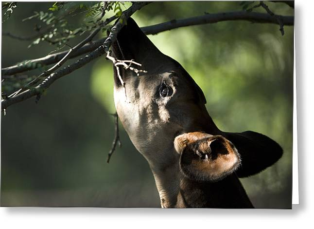 An Okapi Reaches For A Little Snack Greeting Card by Joel Sartore