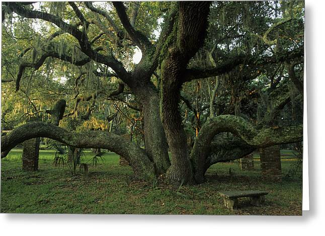 Bromeliad Photographs Greeting Cards - An Old Live Oak Draped With Spanish Greeting Card by Michael Melford
