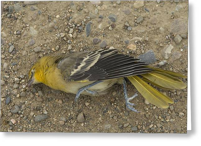 An Orchard Oriole On A Gravel Road Greeting Card by Joel Sartore