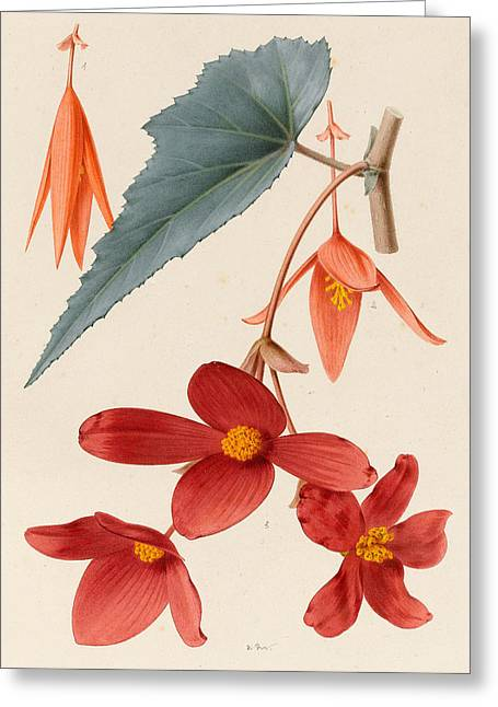 Analytical Drawing Of A Begonia Greeting Card